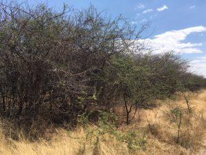 Dichte sekelbos bush in Namibie