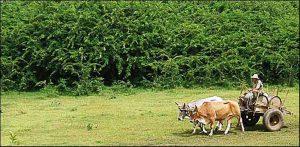 Marabu in Cuba overwoekert landbouwgrond